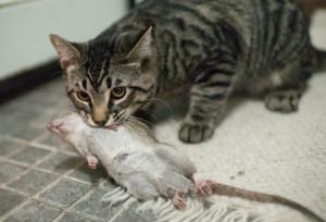 кошка-крысолов с добычей