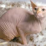 Кожные заболевания у кошек