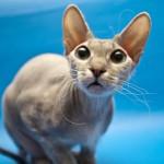 Заболевания ушей у кошек: симптомы, диагностика и лечение