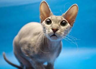 заболевание ушей у кошек