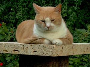 Вирусный перитонит у кошек: симптомы, диагностика и лечение