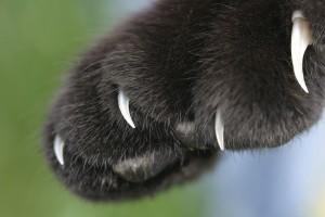 Удаление когтей у кошек: за и против