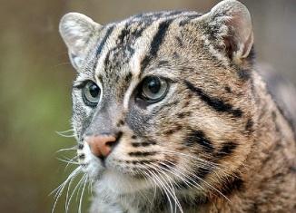 виверровый кот рыболлов