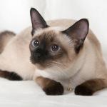 Сиамская кошка — характер и особенности ухода
