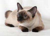 Сиамская кошка характер и особенности ухода