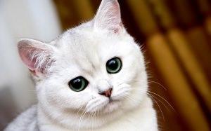 Британская короткошерстная кошка: описание породы