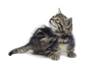 аллергия у кошек симптомы и лечение