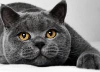Британская короткошёрстная кошка характер и особенности ухода