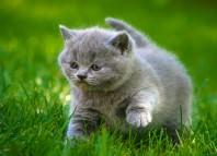 аскариды у кошек