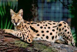 Самая большая порода кошек