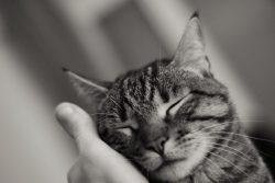 Почему кошка мурчит?
