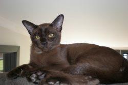 Бурма — кошка из Священного Сиама
