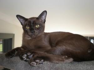 Бурма - кошка из Священного Сиама
