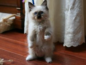 рэгдолл пород кошек