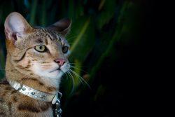 Кот ашера — удивительная порода или гениальная афера?