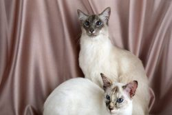 Балинезийская кошка: характер и особенности породы