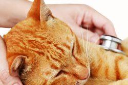 Кровь в кале у кошки: причины