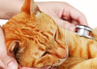 Кровь в кале у кошки причины