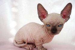 Бамбино — кошка или такса?
