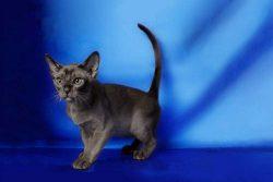 Мандалай кошка