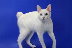 Японская порода кошек: японский бобтейл