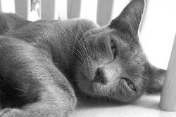 Корат — кошка, приносящая счастье