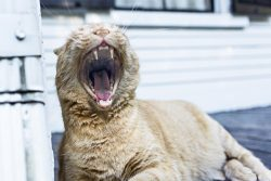 Гингивит у кошек