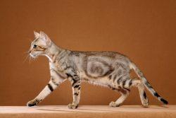 Соукок — лесная кошка из Кении