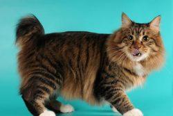 Кот без хвоста: породы и названия