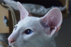 Форин Вайт — белая сиамская кошка