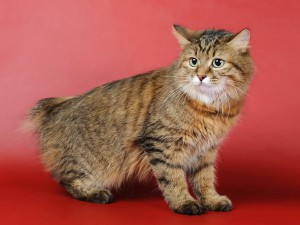 кот без хвоста порода