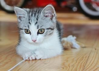 грыжа у котенка