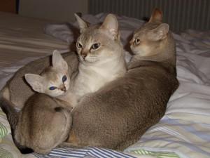 сингапруа кошка
