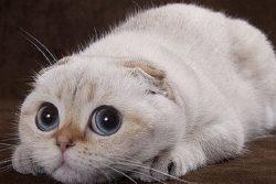 Отек легких у кошек: причины, симптомы, лечение и первая помощь