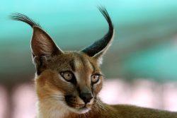Порода кошек каракал или рысь домашняя