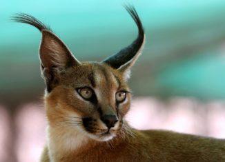 порода кошек каракал