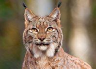 Порода кошек с кисточками на ушах