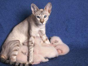 сколько котят рожает кошка