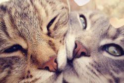 Вязка кошки первый раз: для тех кто не в теме