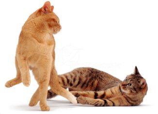 Кошка после вязки