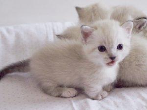Кошки на коротких лапах