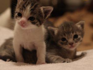 В каком возрасте брать котенка