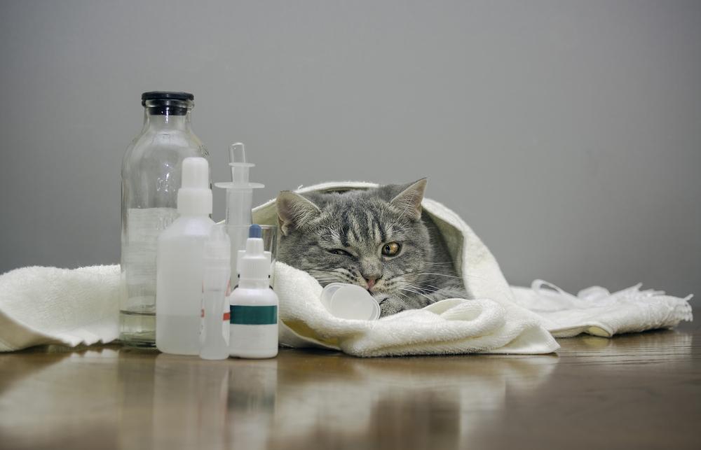 Симптомы панкреатита у кошек и лечение могут сильно отличаться от случая к случаю, в зависимости от степени поражения органа, характера поражения и скорости развития недуга.