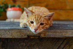 Иммунодефицит кошек (кошачий СПИД): симптомы, диагностика, лечение