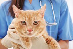Топ 10 наиболее распространенных болезней кошек