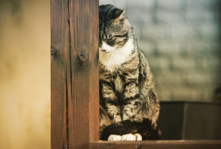Лекарства для лечения панкреатита у кошек thumbnail