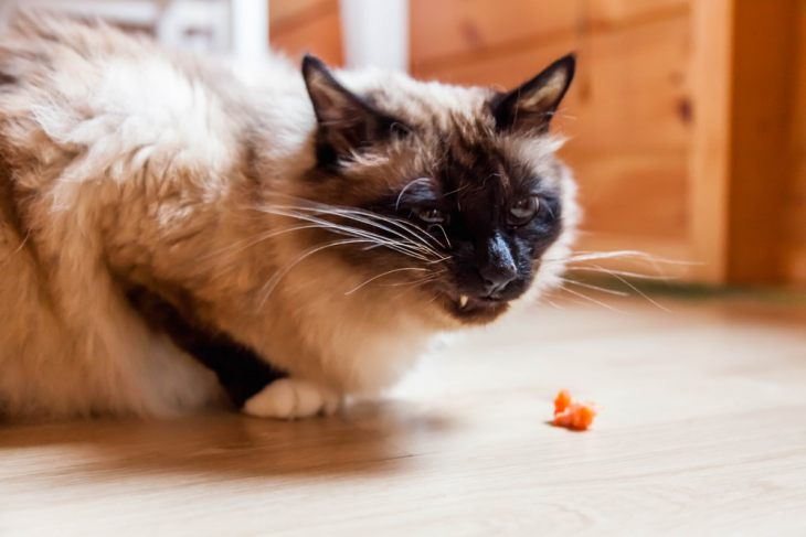 Обзор сухого корма для кошек Schesir