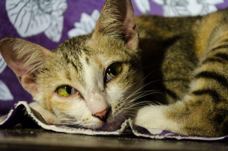 Синдром реминантного яичника у кошки: симптомы, лечение