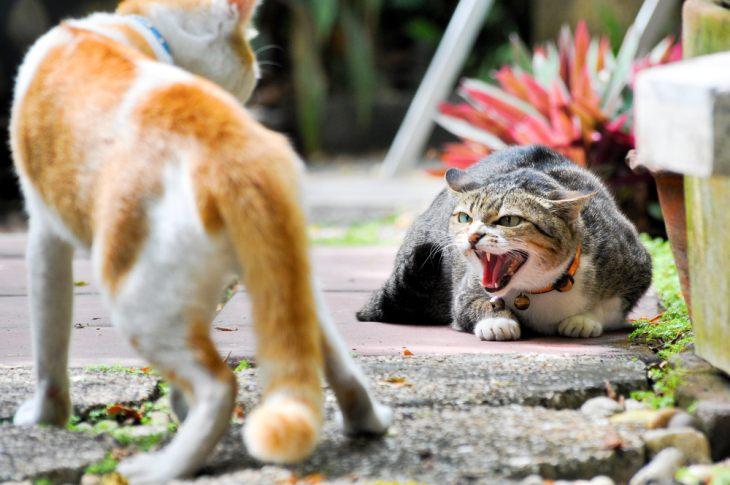 Как подружить кошек – советы владельцам