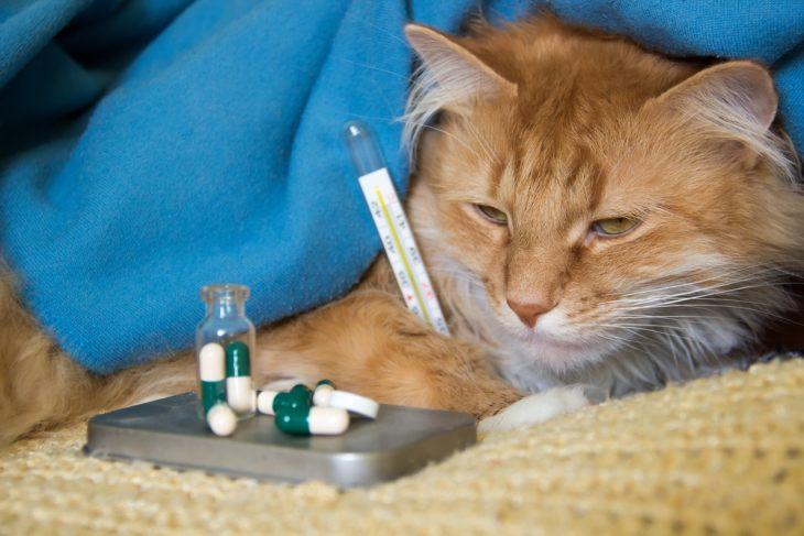 Бордетелла бронхисептика у кошек